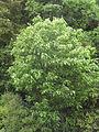 Hoheria-glabrata-tree.jpg