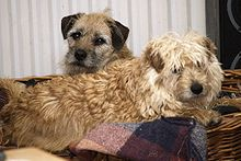 Smoushond and Border Terrier