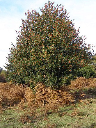 Eregion - The holly Ilex aquifolium