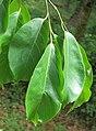 Holoptelea integrifolia 07.jpg