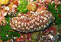 Holothuria sanctori, Balie, Crete, Greece - 20070601.jpg