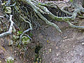 Homoljska potajnica, Žagubica 16.jpg
