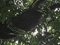Honey bee hive in Polyalthia tree.jpg