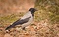 Hooded crow (33369227458).jpg