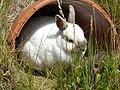 Houplin-Ancoisne lapin du le parc Mosaïc en 2020.jpg