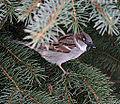 House sparrow (4371403913).jpg