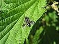 Hover-fly (Pipiza austriaca) (3263012260).jpg