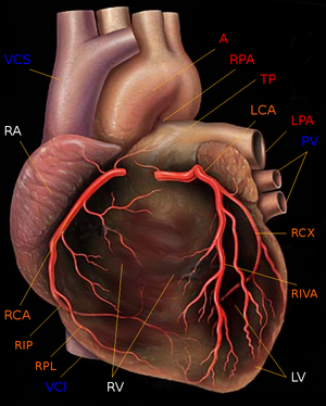 Human heart with coronary arteries new.png