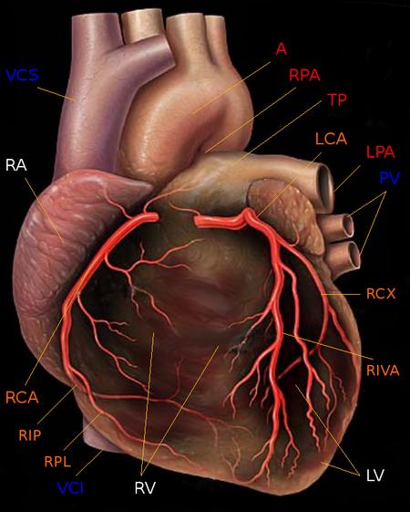 Herz – Biologie