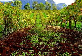 Hunter Valley wine - A Hunter Valley vineyard