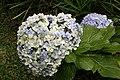 Hydrangea macrophylla 20zz.jpg