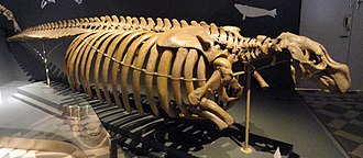 Steller's sea cow - Skeleton at the Finnish Museum of Natural History