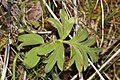 Hydrophyllum capitatum 3223.JPG