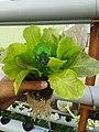 Hydroponic Kheti Lettuce.jpg