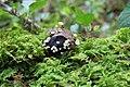 Hymenoscyphus fructigenus 26660829.jpg