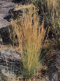 Hyparrhenia hirta 20140810.jpg