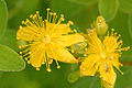 Hypericum.maculatum.-.lindsey.jpg