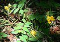 Hypericum calycinum 1.jpg