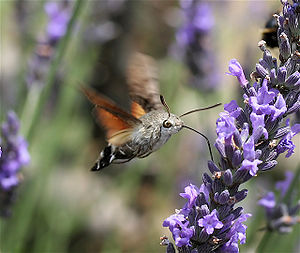 Hummingbird hawk-moth - Macroglossum stellatarum in flight