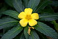 IMG 4096-Turnera ulmifolia.jpg