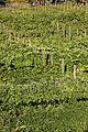 INRA Montp.Vigne pédagogique Cl J Weber02 (23148424445).jpg
