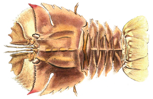 Ibacus peronii - Image: Ibacus peronii Leach