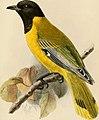 Ibis (1900) (14564932670).jpg