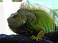 Iguana named King Kong - Flickr - -Cy.jpg