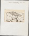 Iguana nudicollis - 1700-1880 - Print - Iconographia Zoologica - Special Collections University of Amsterdam - UBA01 IZ12800057.tif