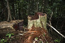 A rosewood stump and adjacent log, both with dark red heartwood, in the forest of Marojejy National Park