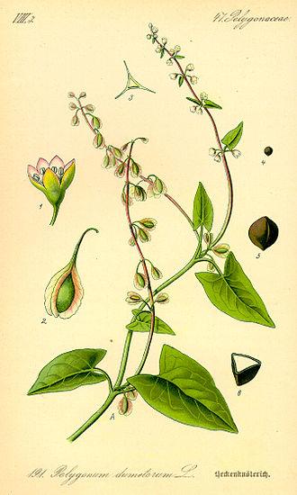 Fallopia - 1885 illustration