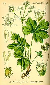 Illustration Sanicula europaea0.jpg