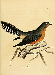 Illustrations of ornithology (Color Plate 67) (7747984404).jpg