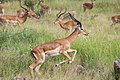 Impala Leaping (49642567487).jpg