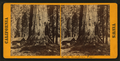 In the Mariposa Grove, by Watkins, Carleton E., 1829-1916.png