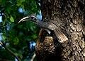 Indian Grey Hornbill Ocyceros birostris 3 by Raju Kasambe.jpg