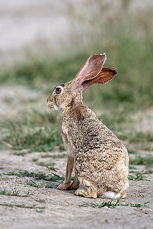 Indian Hare (36611135411).jpg