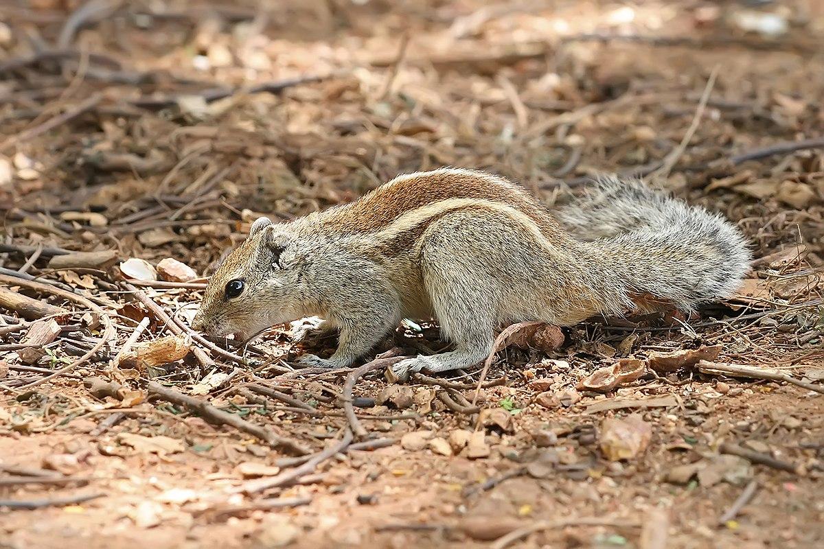 Indian palm squirrel -...