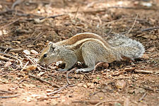 Indian Palm Squirrel Bangalore 2009.jpg