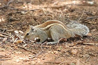 أنواع السناجب  390px-Indian_Palm_Squirrel_Bangalore_2009