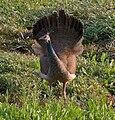 Indian Peafowl (Pavo cristatus) near Hodal W IMG 6356.jpg