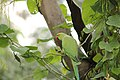 Indian Rose Ringed Parakeet..jpg