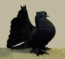 Indian fantail(black self).jpg