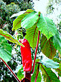 Inflorecencia Yarumo.jpg