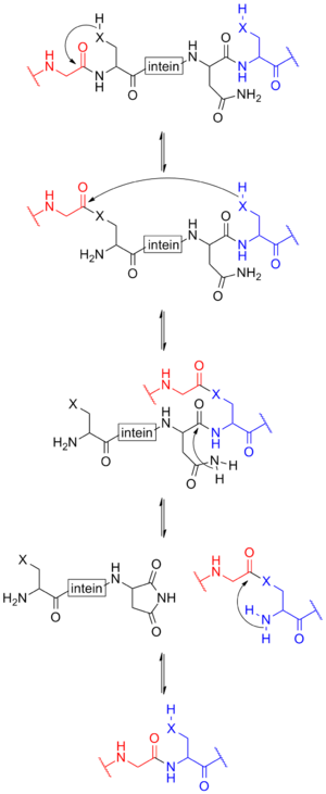 Intein - The mechanism of protein splicing involving inteins. In this scheme, the N-extein is shown in red, the intein in black, and the C-extein in blue. X represents either an oxygen or sulfur atom.