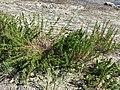 Inula crithmoides sl2.jpg