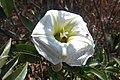 Ipomoea murucoides - flor.jpg