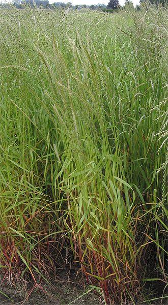Italiaans raaigras resistent tegen 4 verschillende pesticiden!