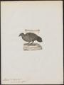Ithaginis zeylonensis - 1788-1823 - Print - Iconographia Zoologica - Special Collections University of Amsterdam - UBA01 IZ17100009.tif
