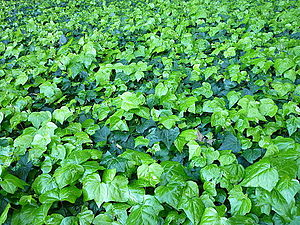 Shades of green - Hedera in Hyde Park, Sydney